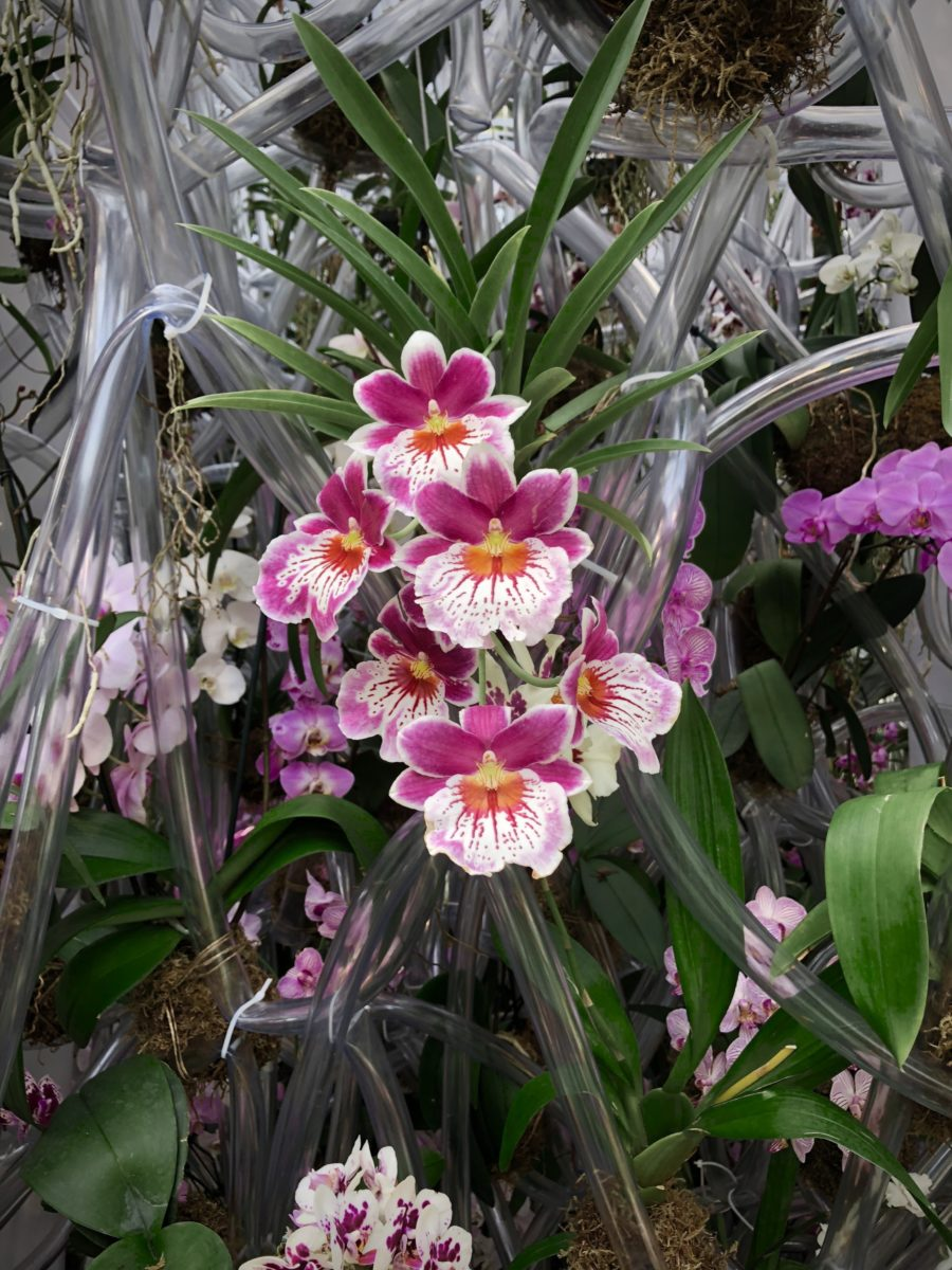 the_orchid_show_NYBG